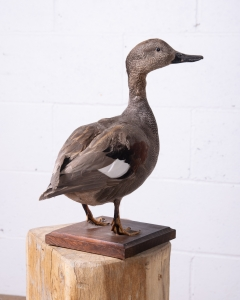 Gadwall Duck Taxidermy-5